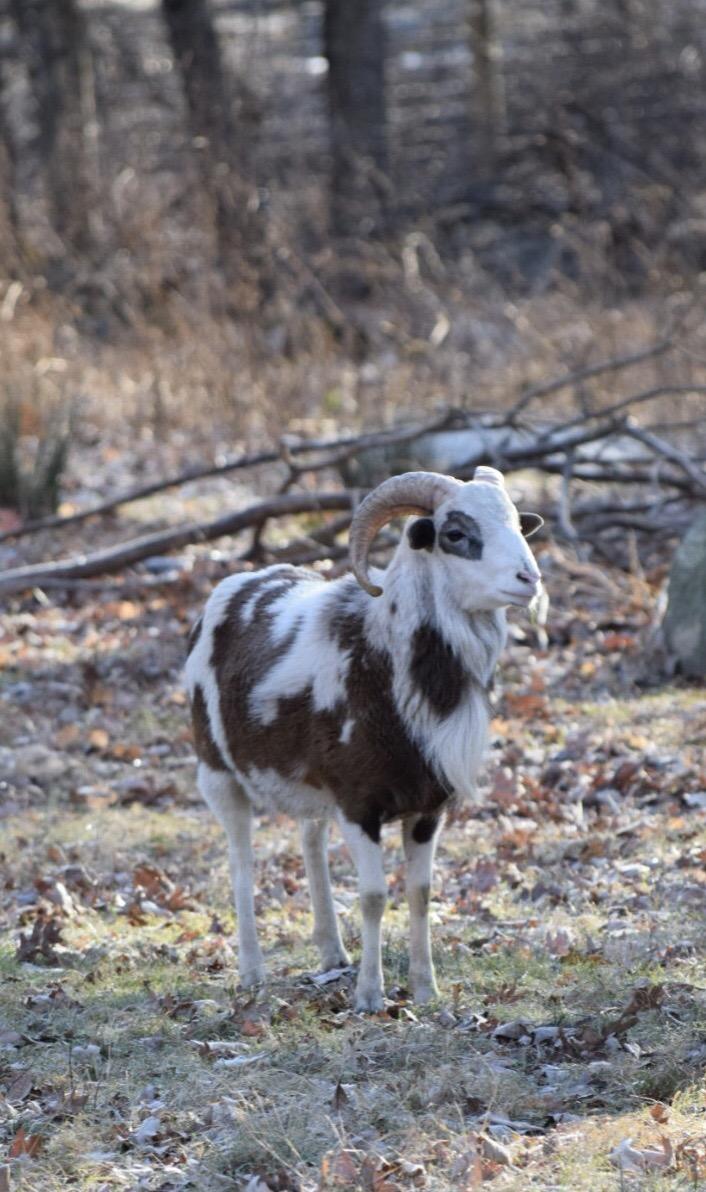 Altai/Lahela Ram: dob12/20/17