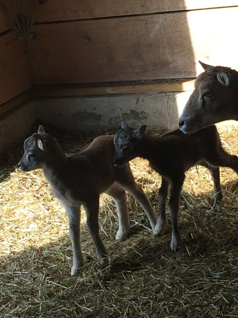Lambs coming spring 2019