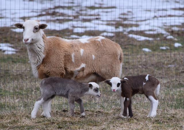 Cassiopeia's Twin Ram Lambs
