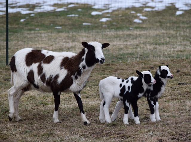 Lyra's Twin Ram Lambs